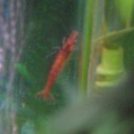 Red_cherry_shrimp2