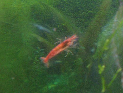 Red_cherry_shrimp