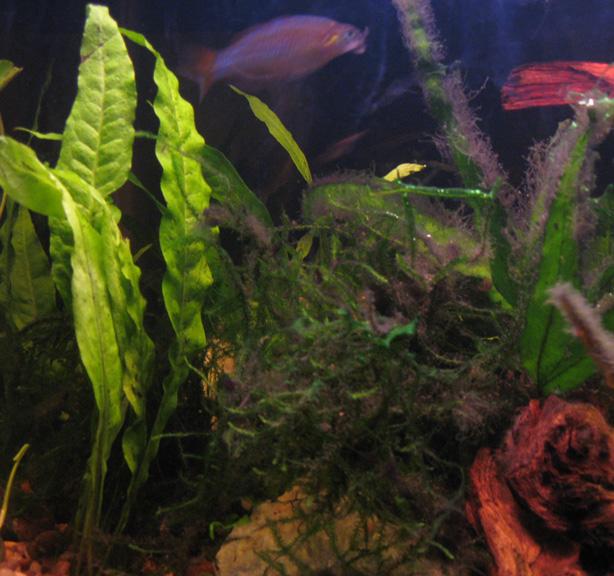 Javafernalgae