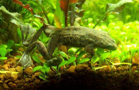 Africandwarffrog