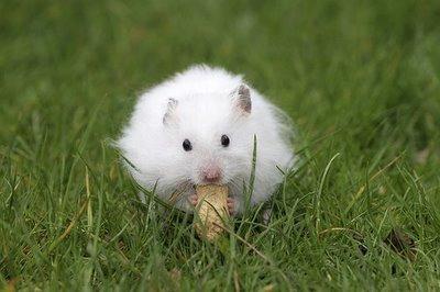 Hamster_white_2