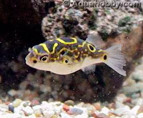 Freshwater Puffer Fish on Dsm Fish Gal  All About Freshwater Pufferfish